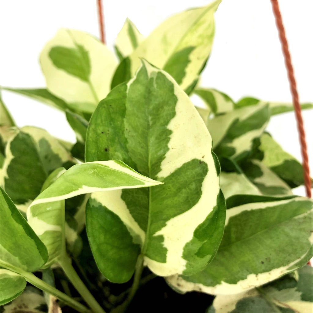 Epipremnum aureum 'N´Joy', Money Plant 'N´Joy' (Hanging) (0.2m)