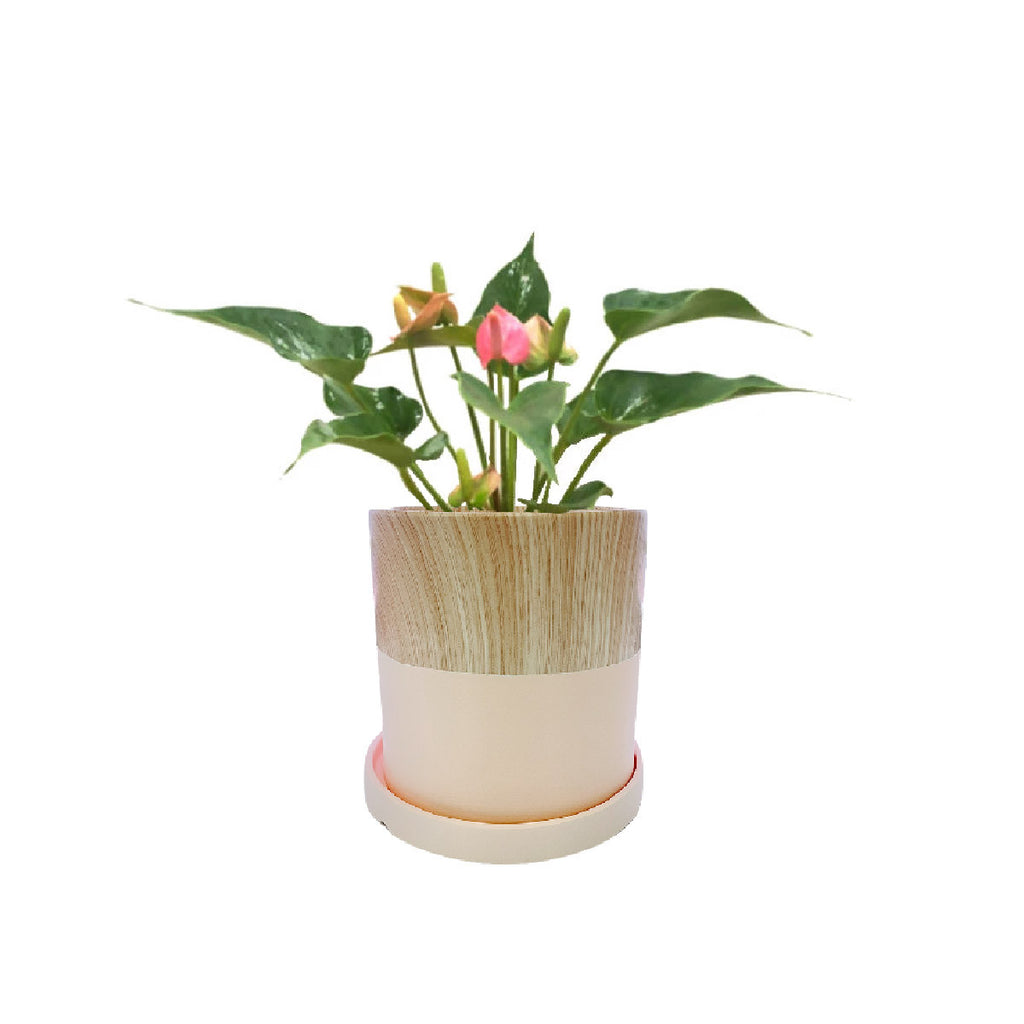 Anthurium Pink in Pink Woody Pot