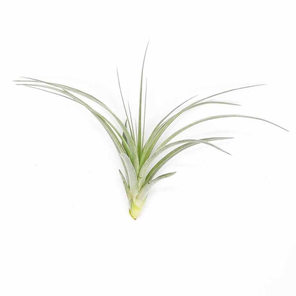Air Plant Tillandsia Cotton Candy Small