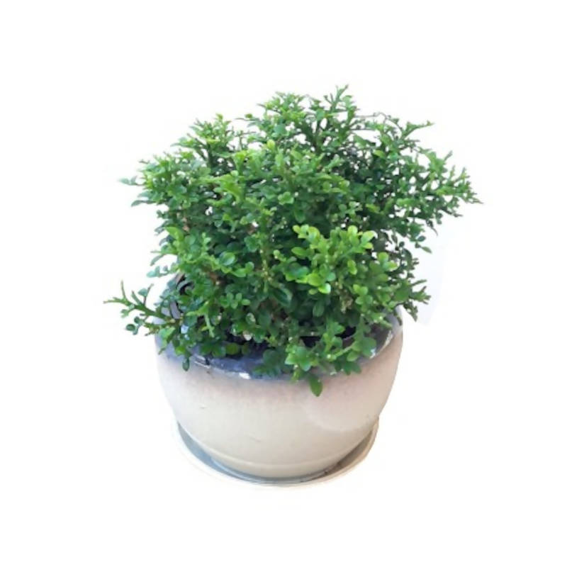 Dwarf Murraya Paniculata, Dwarf Kamini in Classical Gold Pot (0.15m)