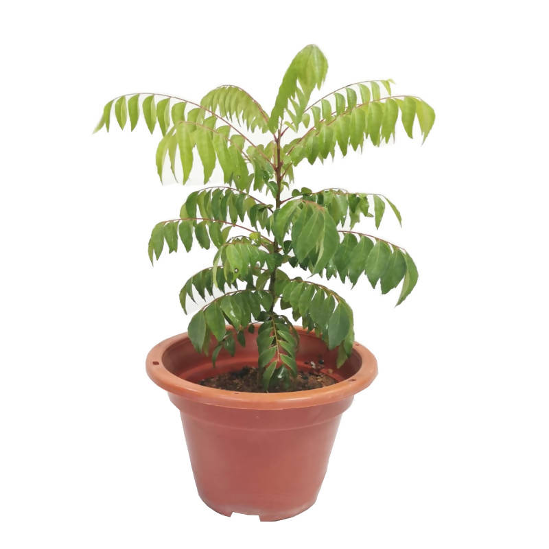 Murraya koenigii, Indian Curry Tree, Curry Tree (0.35m)