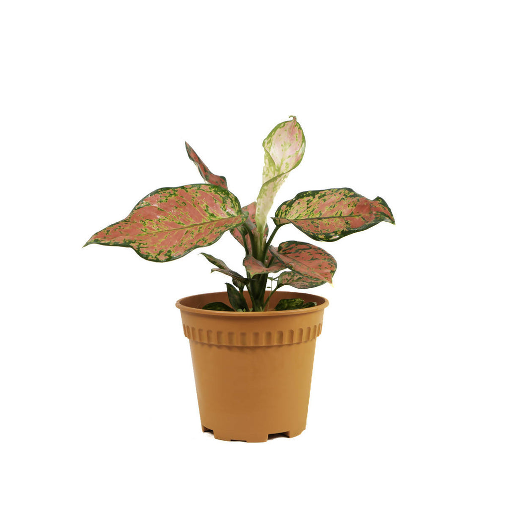 Aglaonema 'Ruby Red', Chinese Evergreen (0.3m)