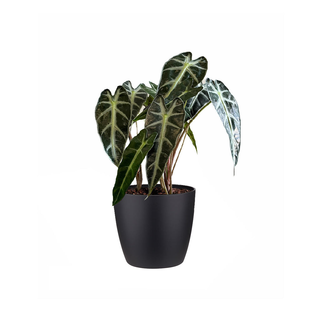 Alocasia amazonica in Living Black Brussels Round Mini