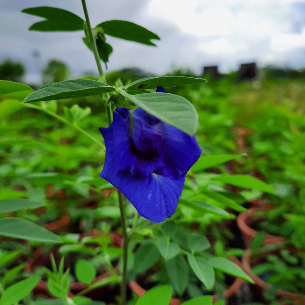 Clitoria ternatea, Blue Pea Vine, Double Layer Butterfly Pea (0.4m)