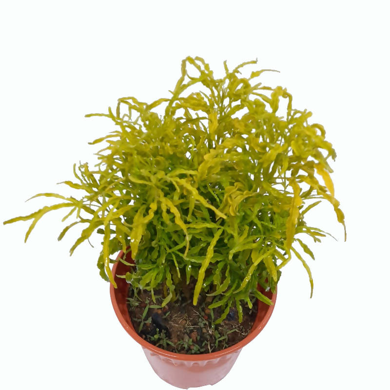 Euodia ridleyi 'Golden Green' (0.3m)