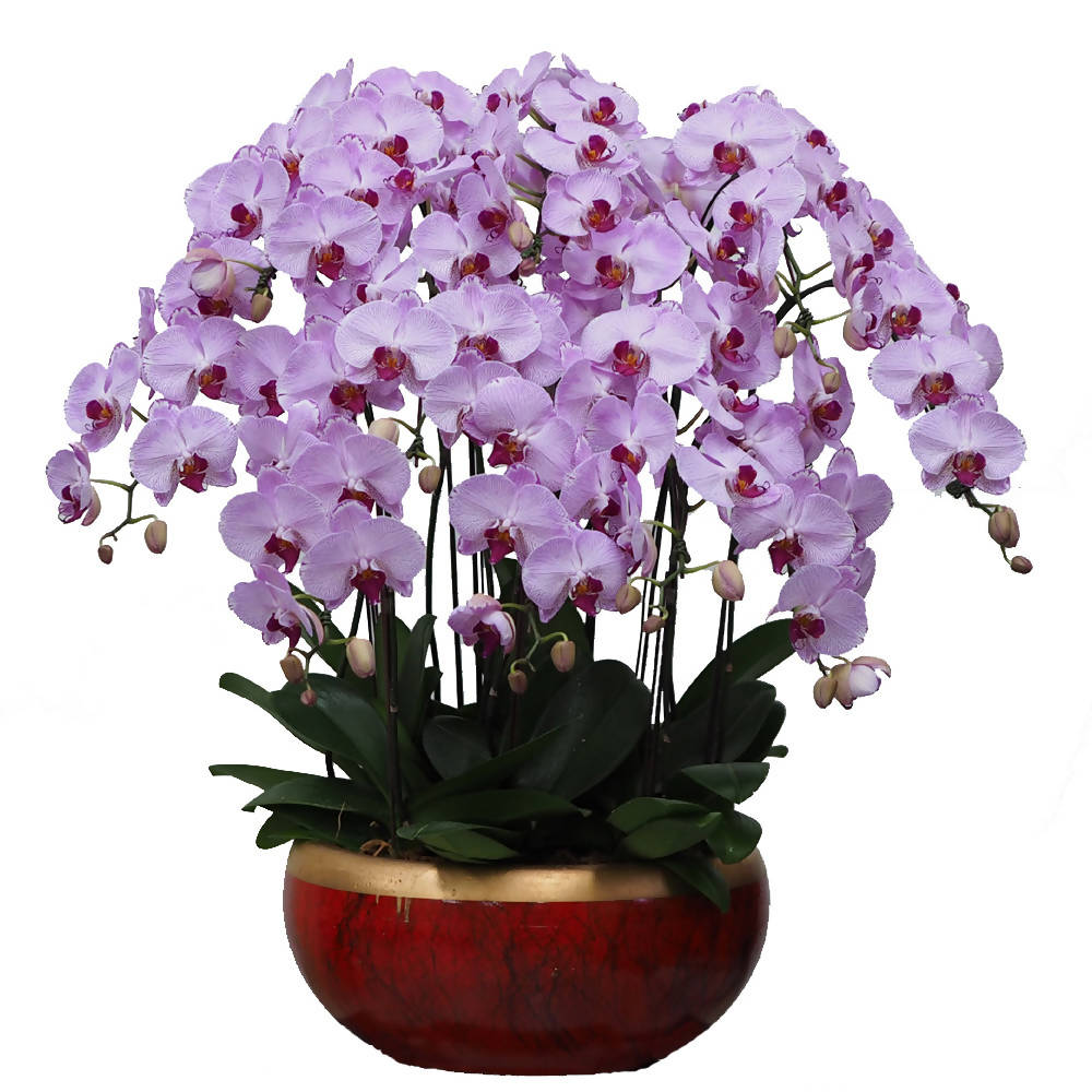 8 in 1 Phalaenopsis PPK with pot