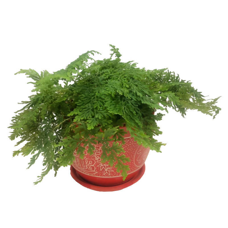 Selaginella in Red Chinaware Pot (0.2m)