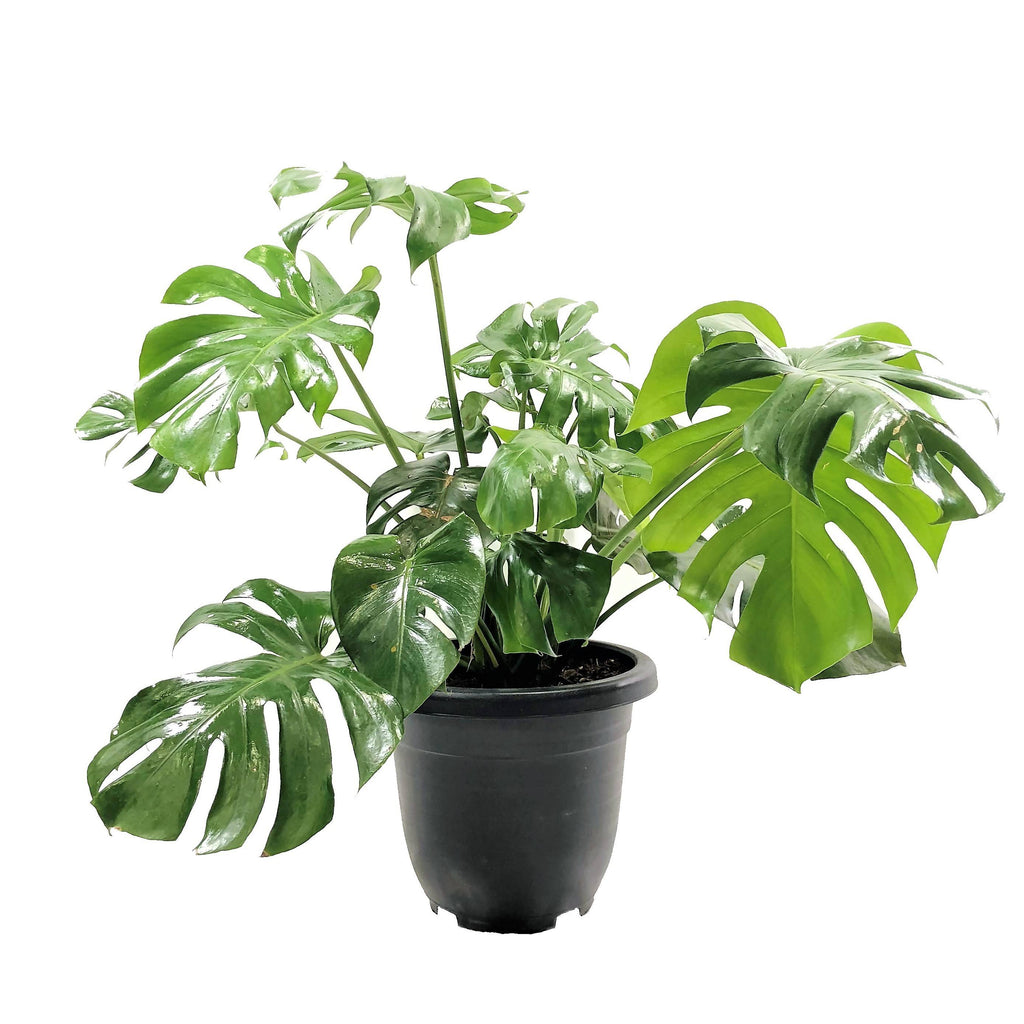 Monstera deliciosa, Swiss Cheese Plant (0.55m)