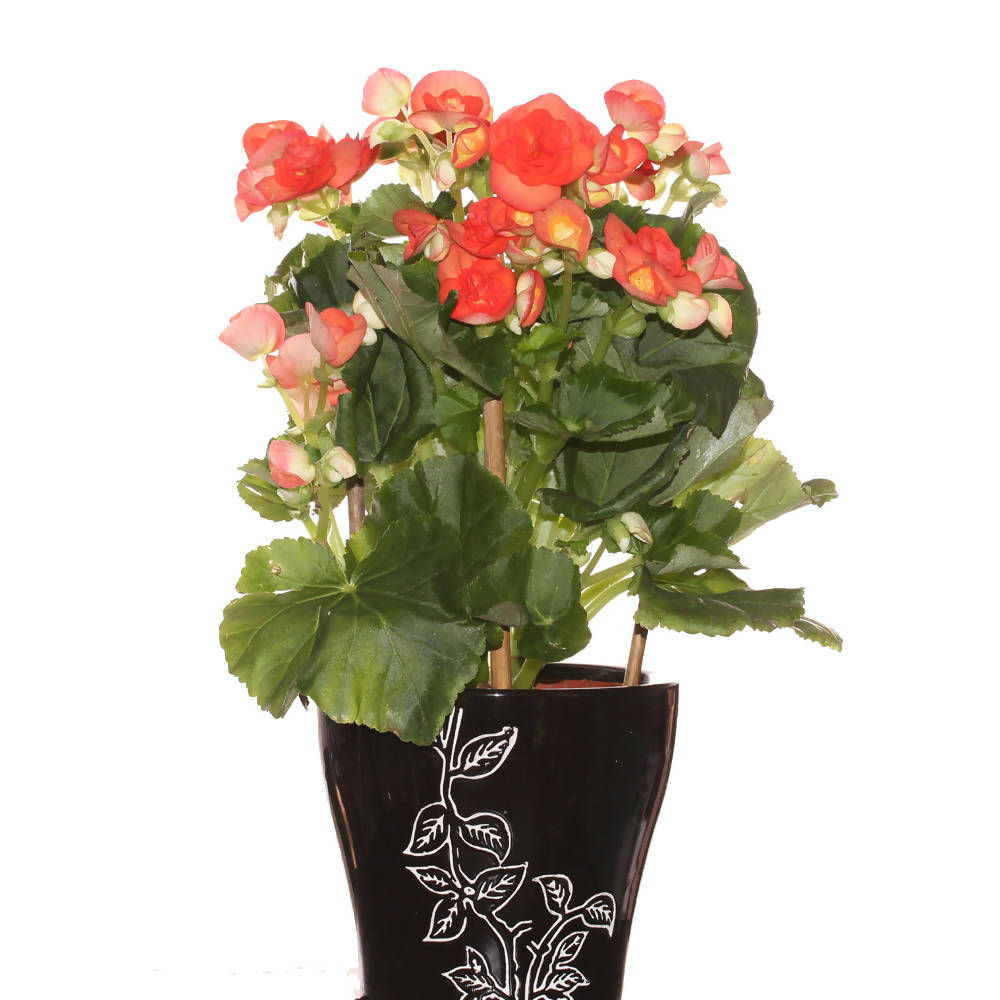 Begonia Rose, Rose Begonia in ceramic pot