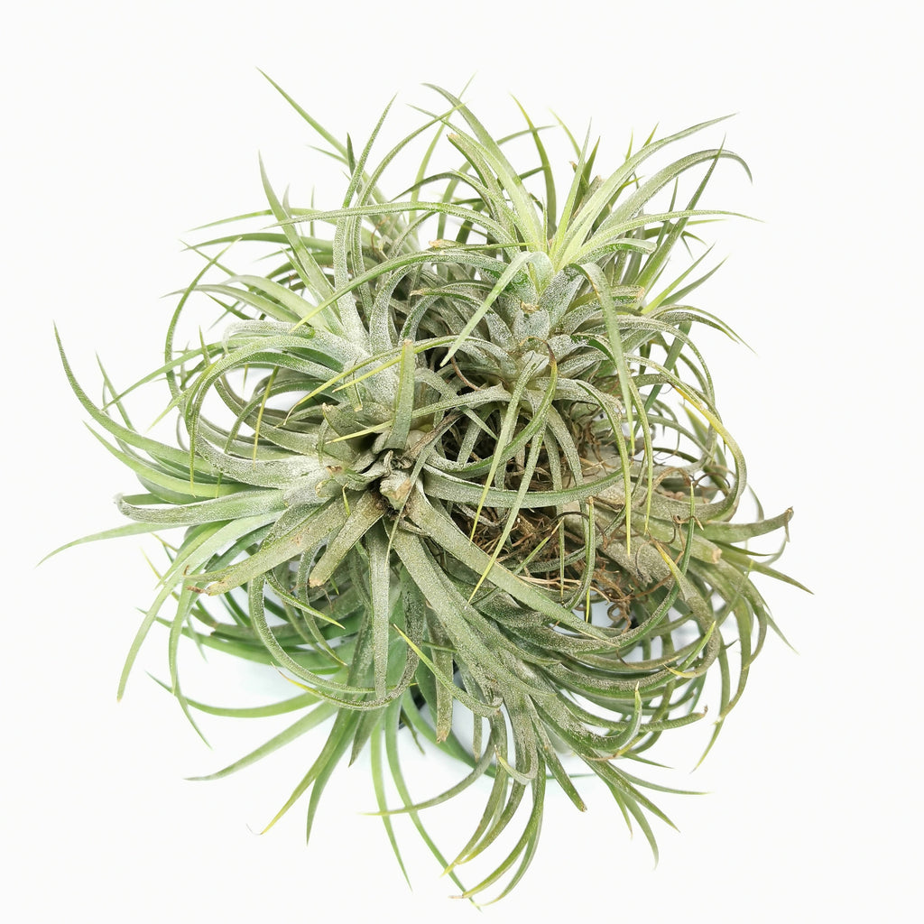 Air Plant Tillandsia ionantha Rubra Clump