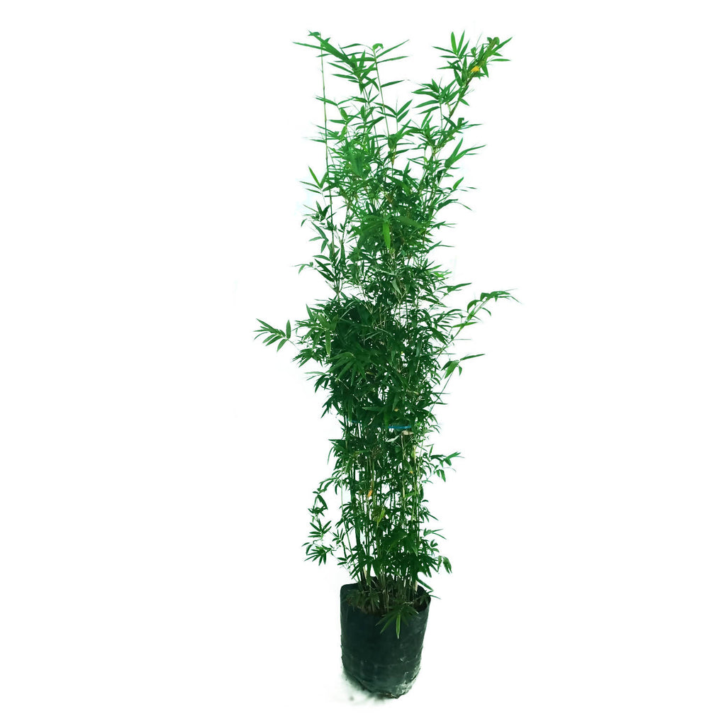 Bambusa multiplex, Hedge Bamboo in Bag (1.3m)