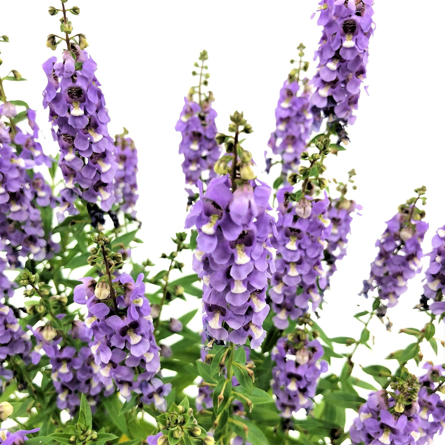 Angelonia angustifolia, Summer Snapdragon, Light Violet (0.35m)