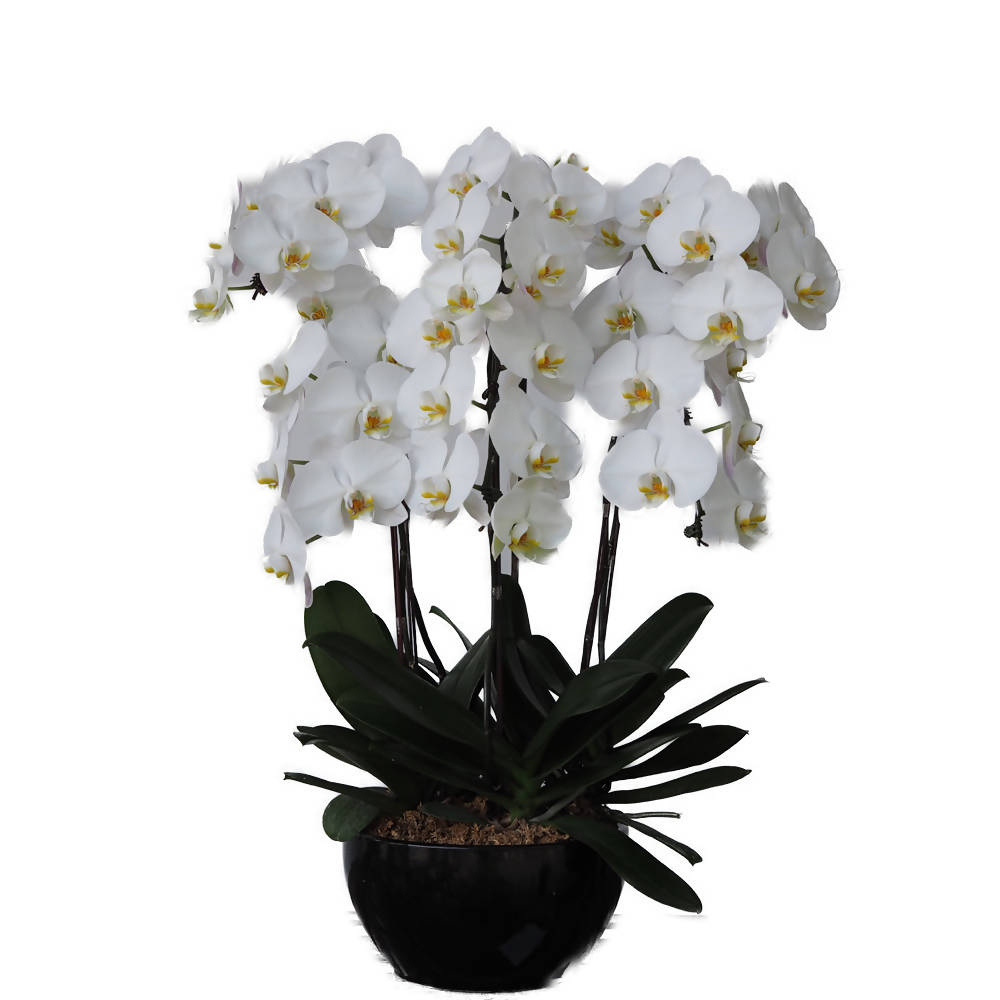 6 in 1 Phalaenopsis White with Pot