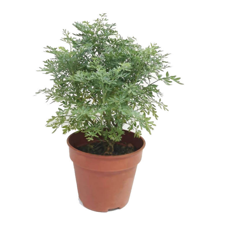 Ruta graveolens, Rue or Herb of Grace (0.3m)