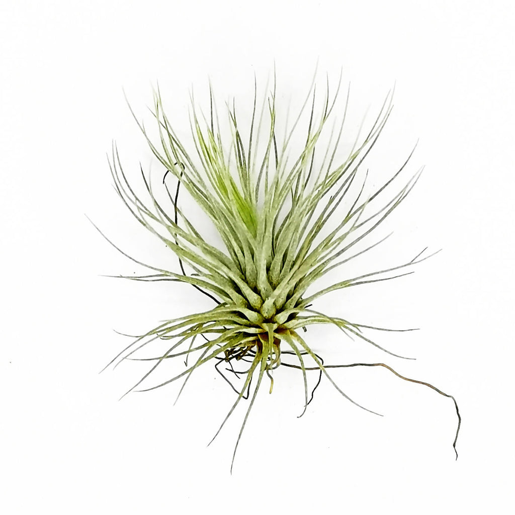 Air Plant Tillandsia andreana Small