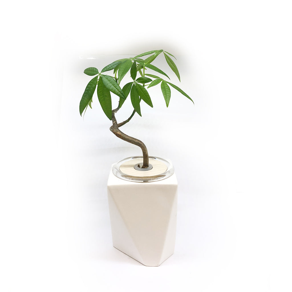 Hydroponic Bonsai in Accord Ceramic
