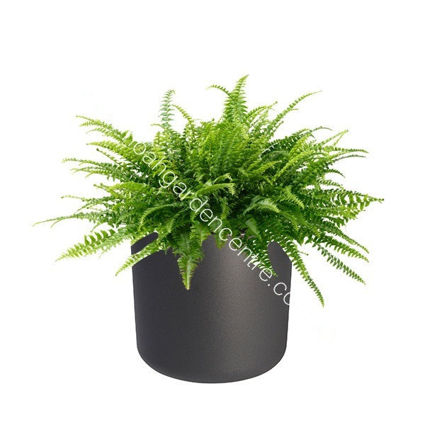B. for Soft 14cm in anthracite with Boston Fern : IH