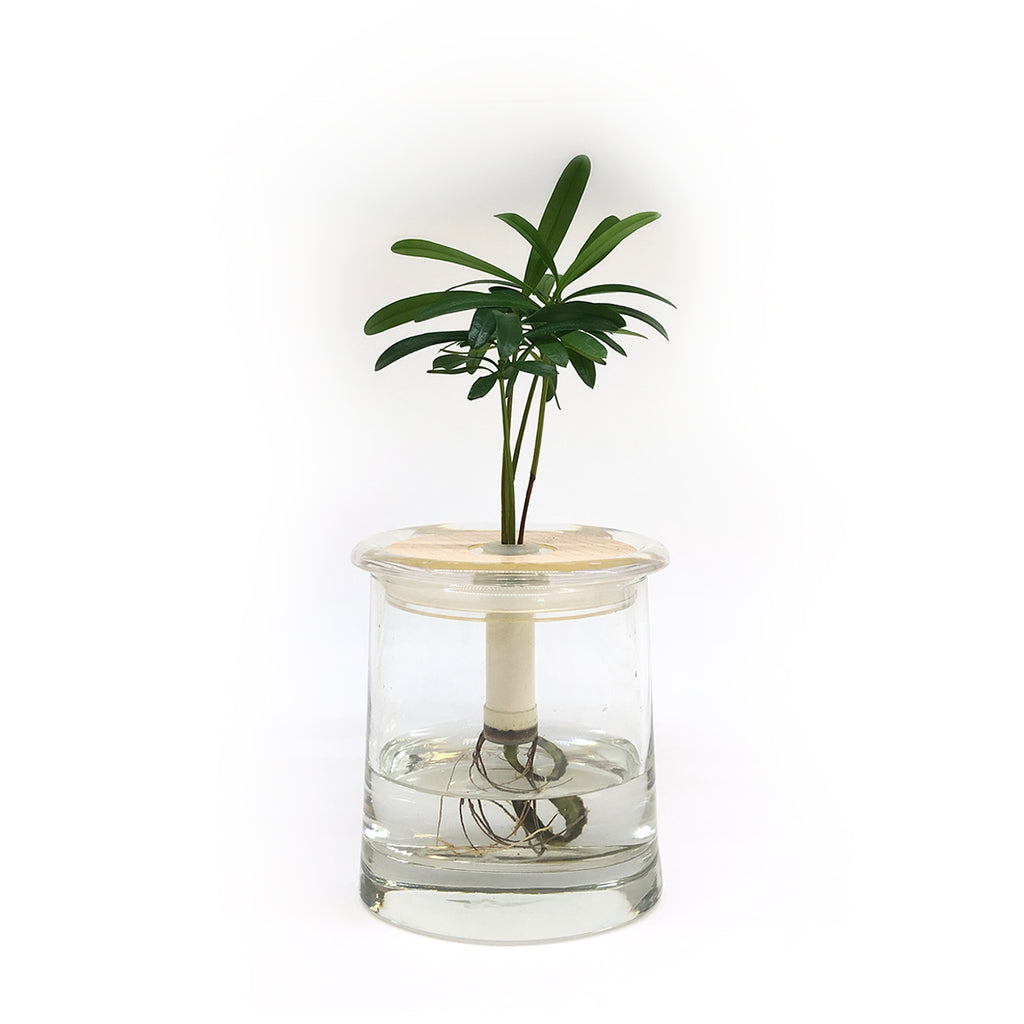 Hydroponic Bonsai in Appropriate Vase