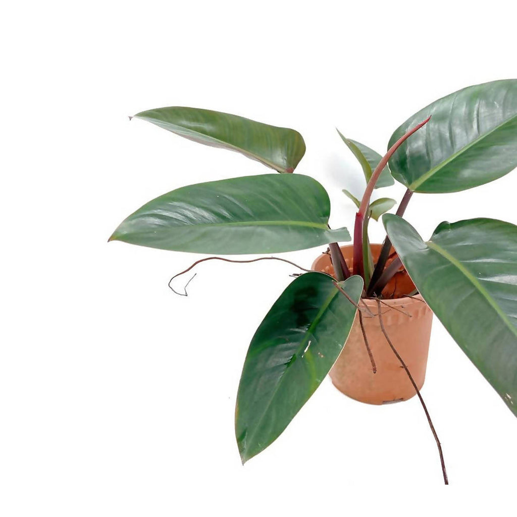 Philodendron Imperial Red (0.45m)