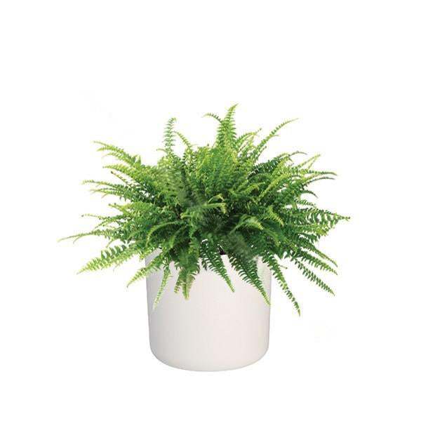 B. for Soft 18cm in White with Boston Fern: IH