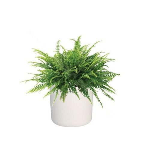 B. for Soft 18cm with Boston Fern : IH