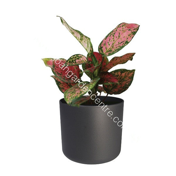 B. for Soft 14cm in anthracite with Aglaonema : IH