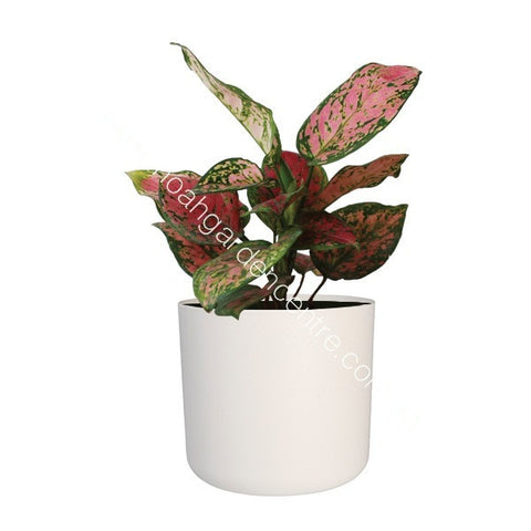 B. for Soft 14cm in white with Aglaonema : IH