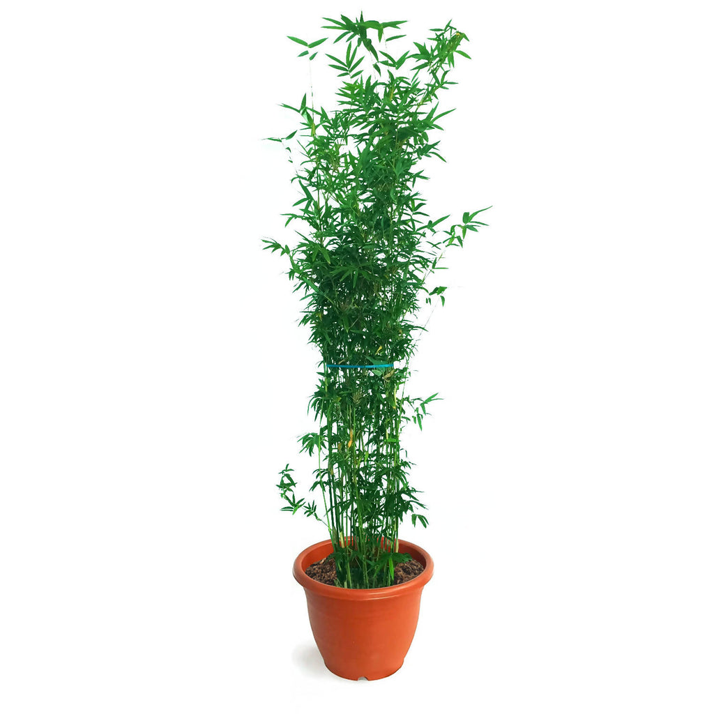Bambusa multiplex, Hedge Bamboo (1.4m)