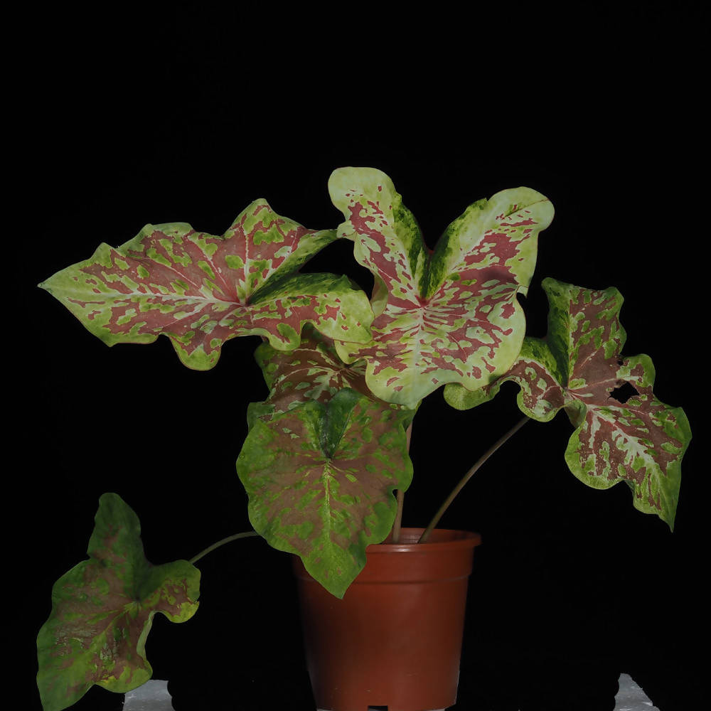 Caladium Million Splash