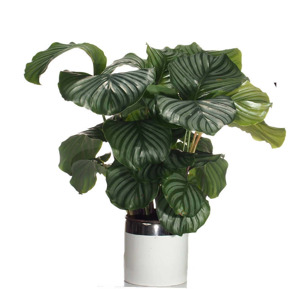 Calathea orbifolia, Prayer Plant (0.6m) in ceramic pot