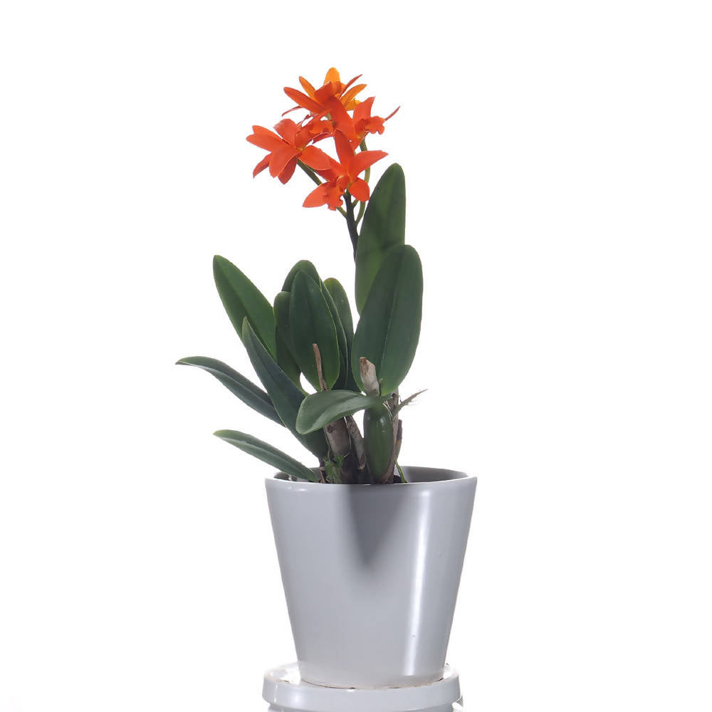 Blc. Young-Min Orange, 'Golden Satisfaction' (0.25mH)