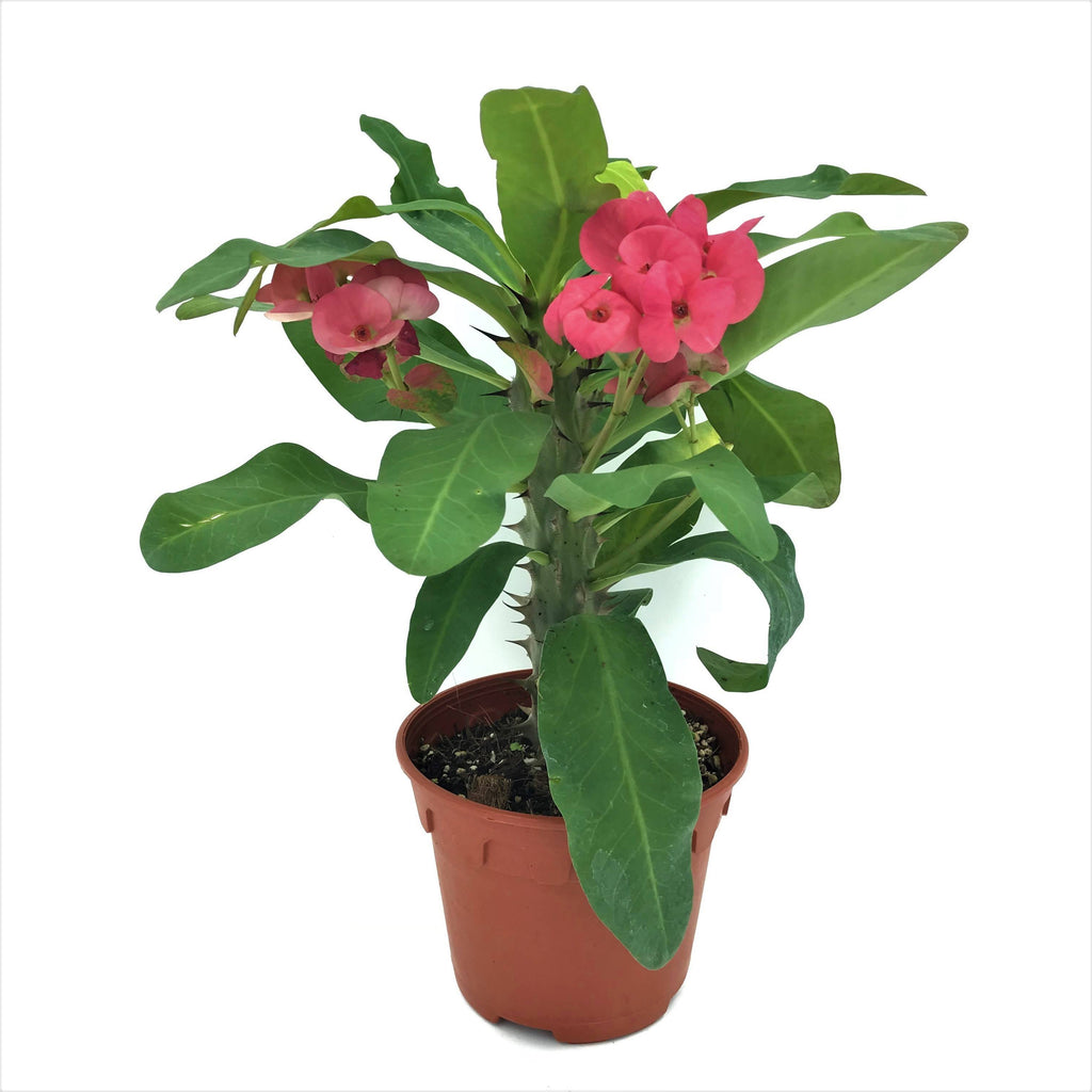Euphorbia milii, Crown of Thorns (0.25m)
