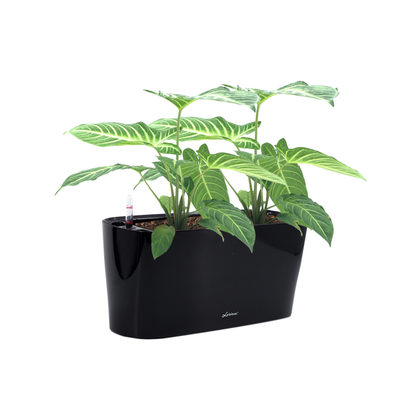 Mini Windowsill 40cm in Black with Caladium lindenii