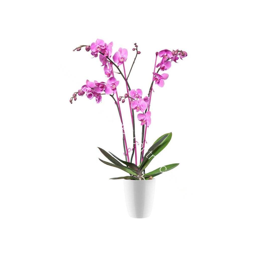 Brussels Diamond Orchid High 15cm in white