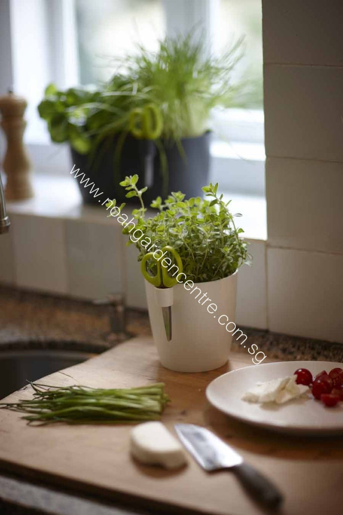 Brussels Herbs Single in white