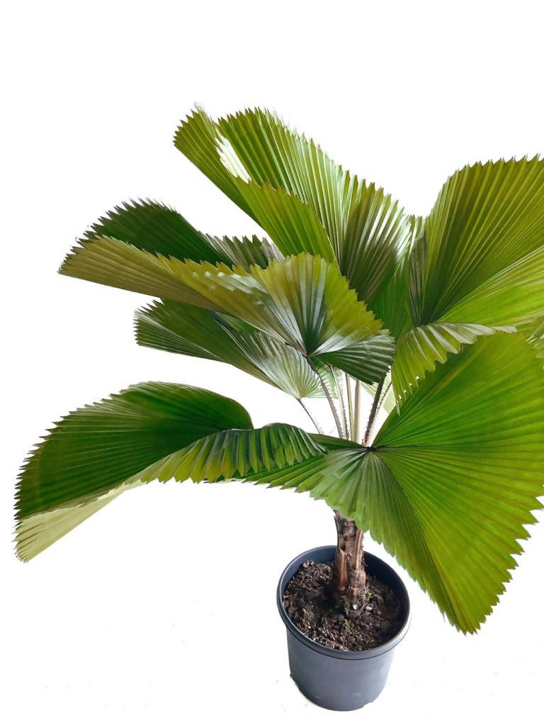 Licuala grandis, Ruffled Fan Palm (1.3m)