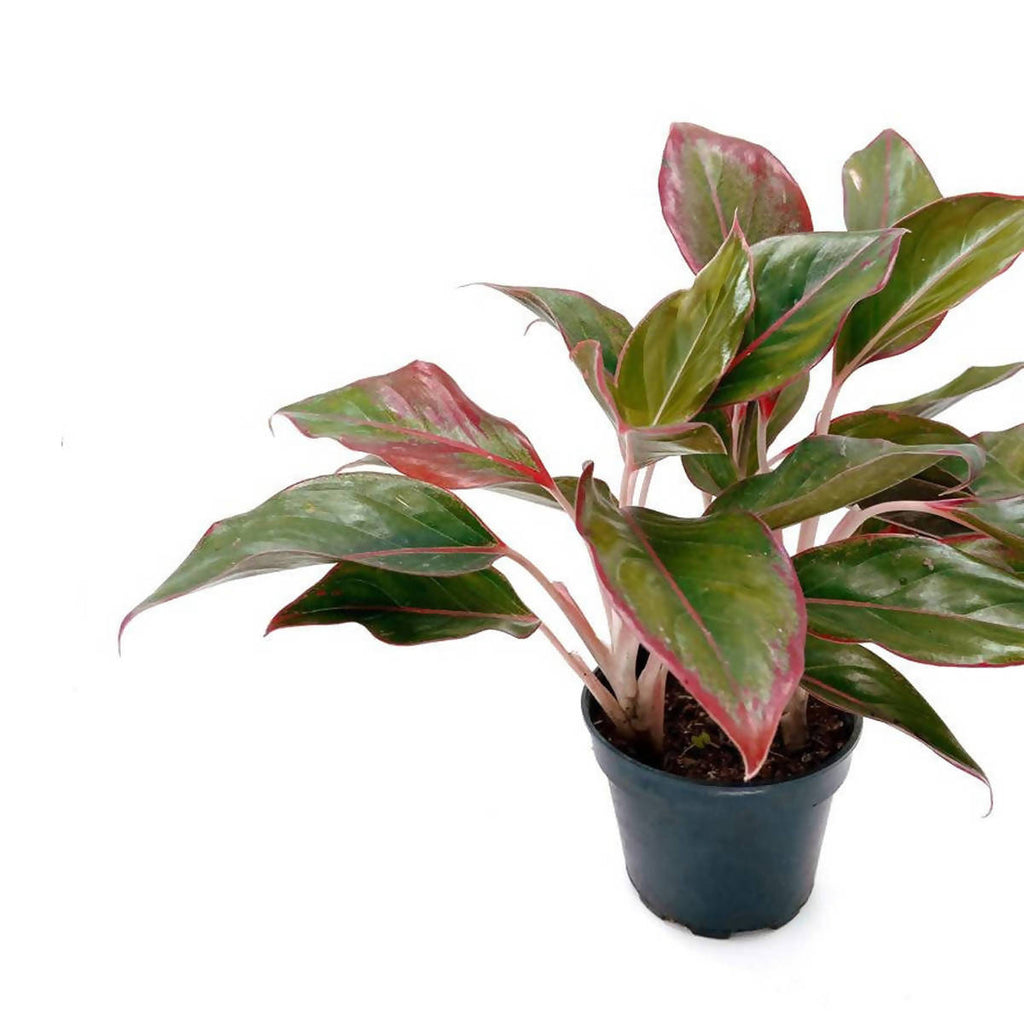 Aglaonema Red (0.35m)