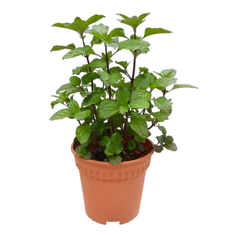 Mentha piperita, Chocolate Lavender Mint, Ginger Mint (0.28m)