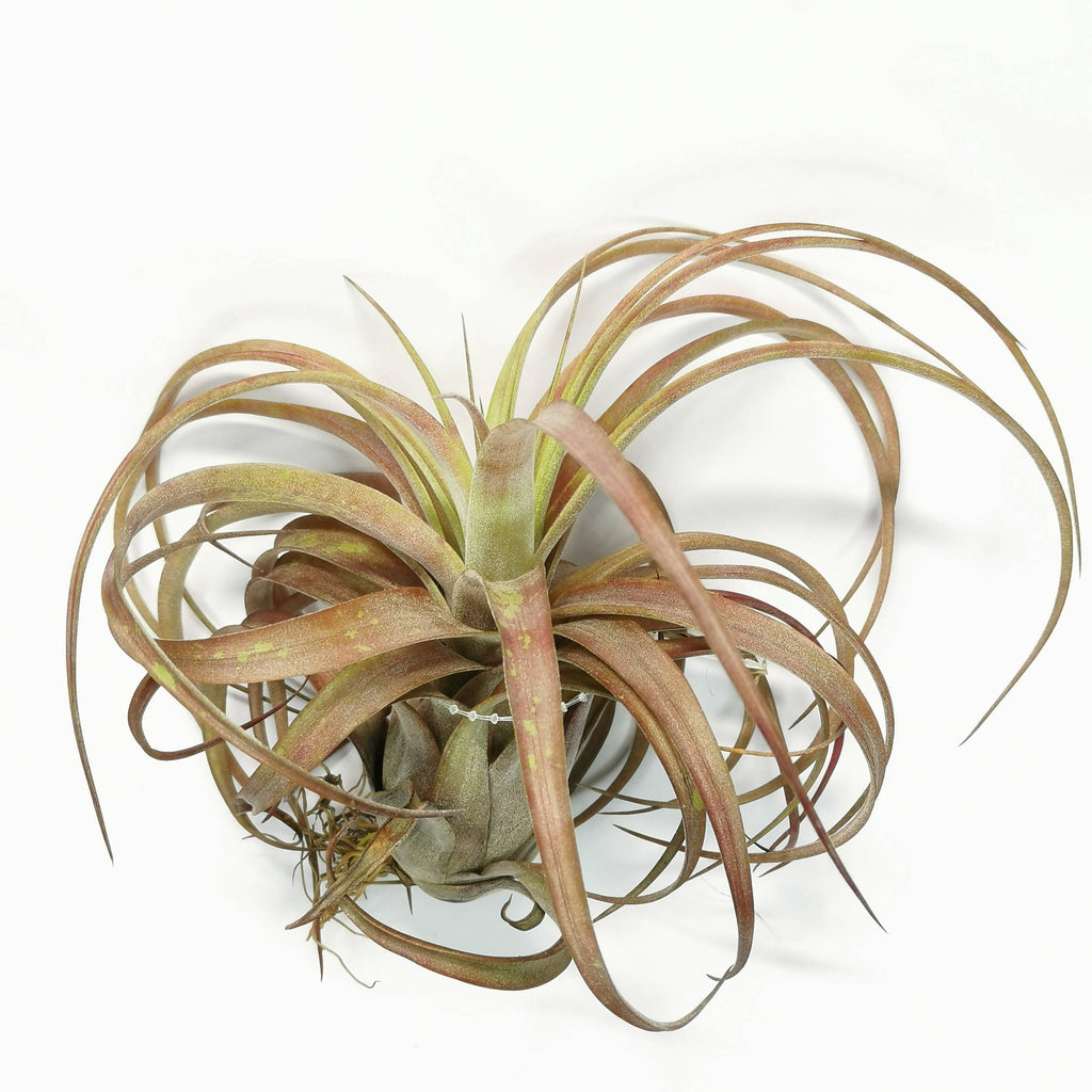 Air Plant Tillandsia Love Knot