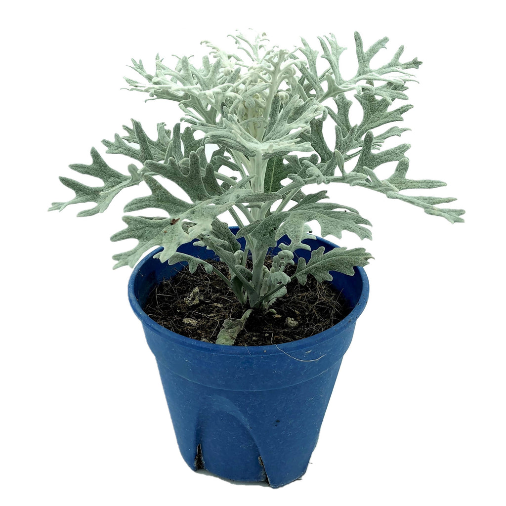 Senecio cineraria 'Silver Dust', Dusty Miller (0.15m)