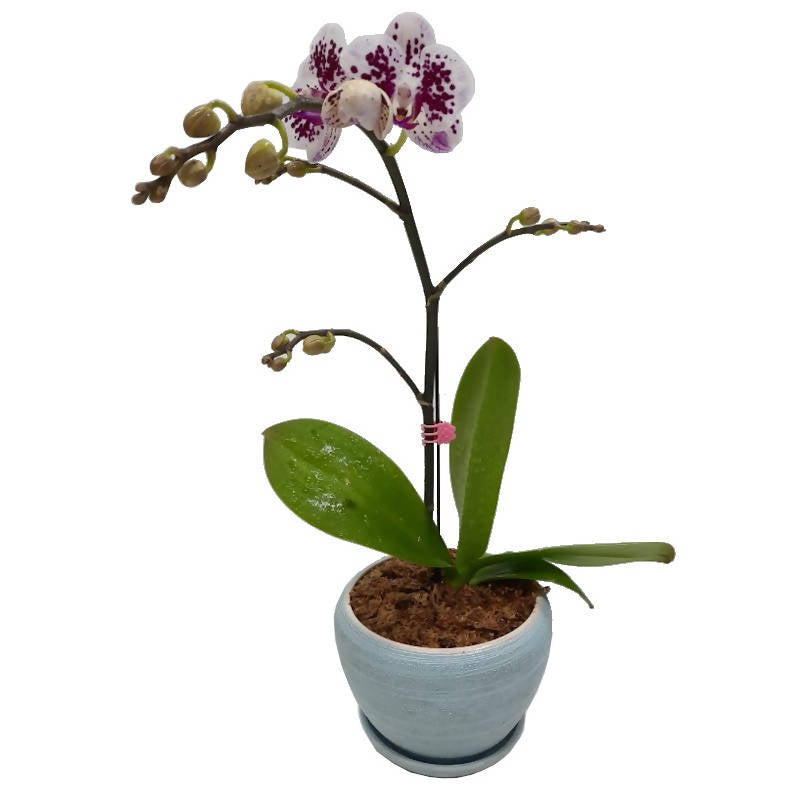 1 in 1 Mini Phalaenopsis Orchid with Blue Pot (0.5m)
