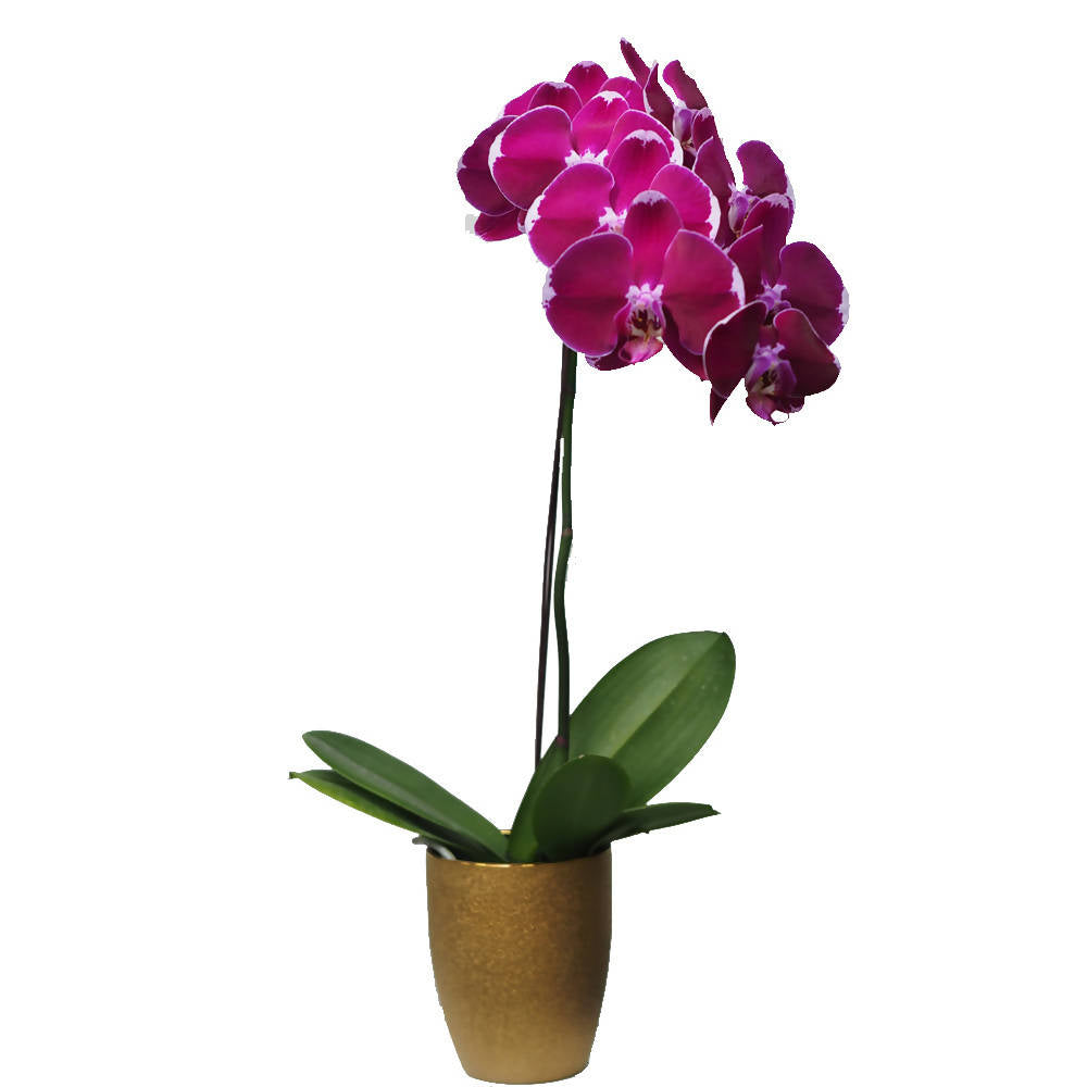 1 in 1 Phalaenopsis BNP with pot