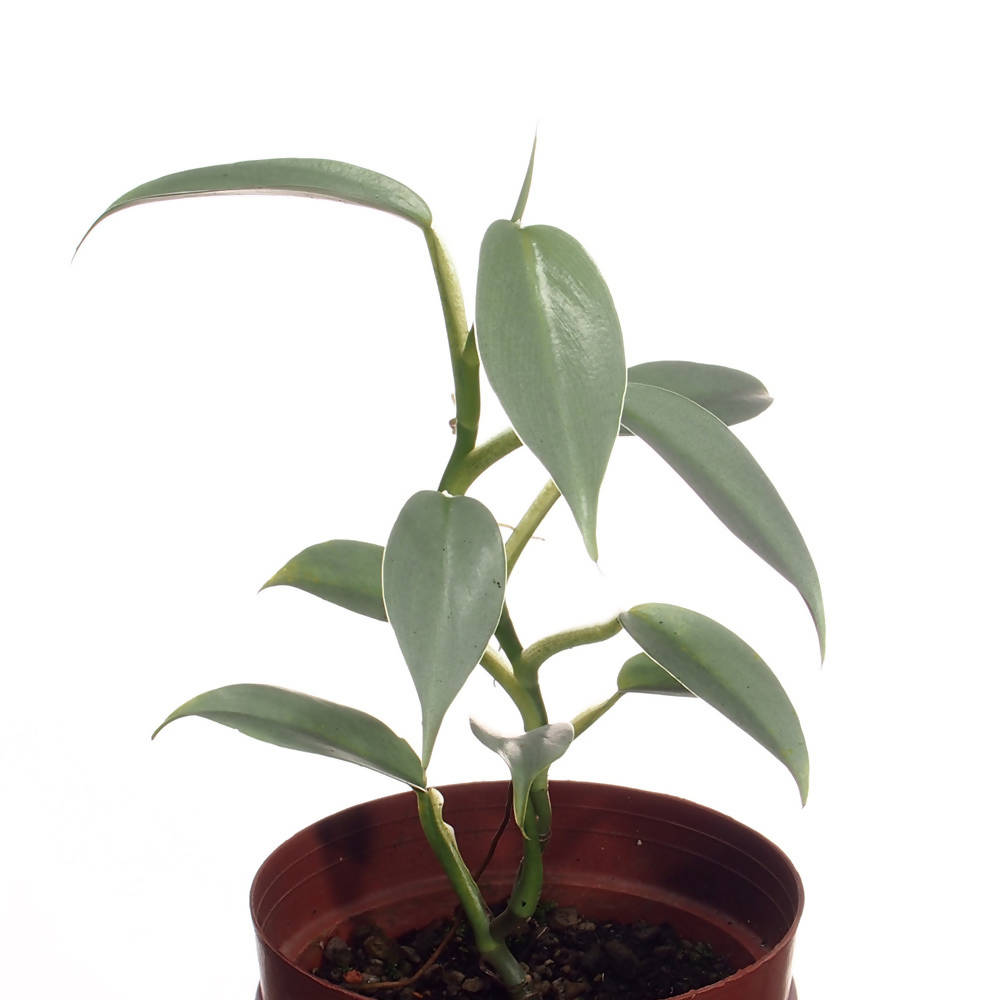 Philodendron Hastatum, Silver Sword Philodendron