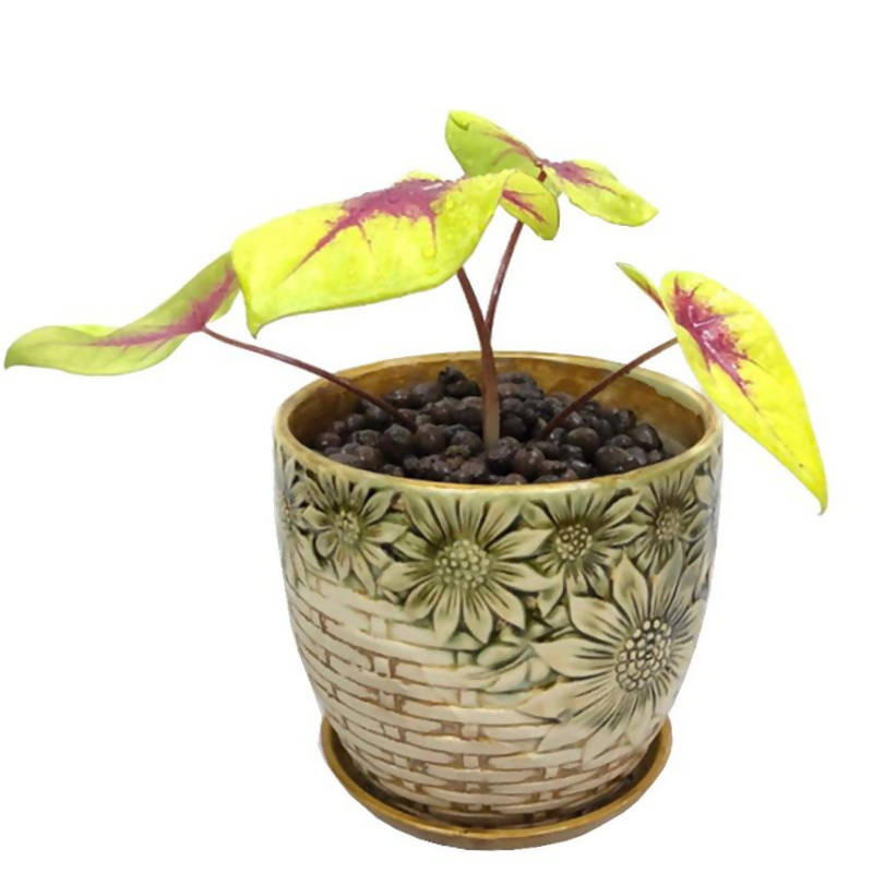 Caladium 'Yellow Blossom' Hybrid in Basket Design Pot (0.24m)