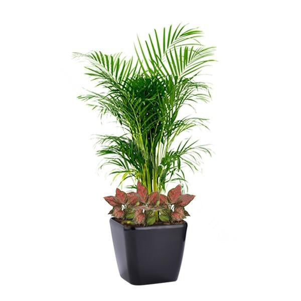 Yellow Palm, Agalonema Mix Planting in Dumpy Square Series 45cm in black