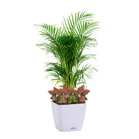 Yellow Palm, Agalonema Mix Planting in Dumpy Square Series 45cm in white