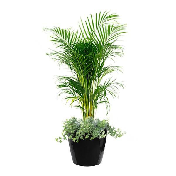 Yellow Palm, English Ivy Mix Planting in Dumpy Round Series 45cm in black