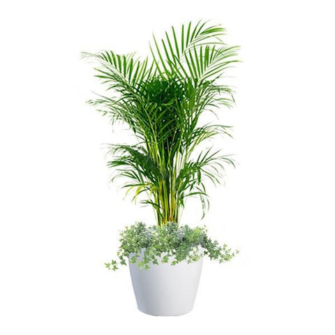 Yellow Palm, Ivy Mix Planting in Dumpy Round Series 45cm in white
