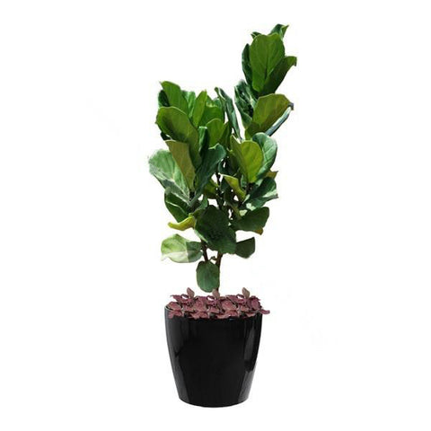 Ficus Lyrata, Fittonia Mix Planting in Dumpy Round Series 45cm in black