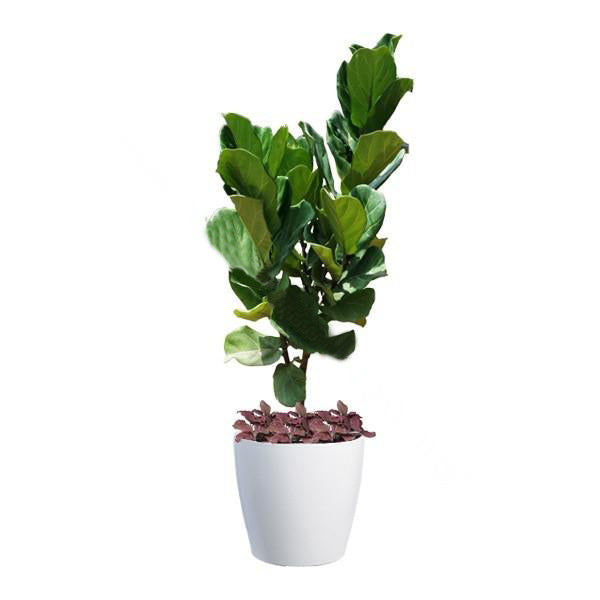 Ficus Lyrata, Fittonia Mix Planting in Dumpy Round Series 45cm in white